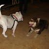 American Bulldog, Zeus_001