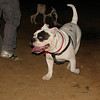 American Bulldog boy_003
