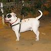 American Bulldog boy_002