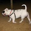 American Bulldog boy_001