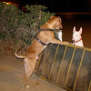 tyson, sira, gate, fence, ayora, pitbull