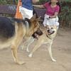 New Shiba Inu boy, Tomi_001