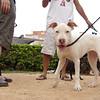 Kora (pitbull girl)_016