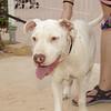 Kora (pitbull girl)_005