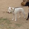 Kora (pitbull girl)_001