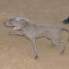 new weimeraner puppy lola