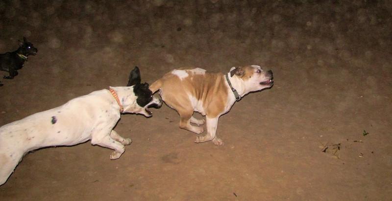 A new pitbull girl, Kiba_001