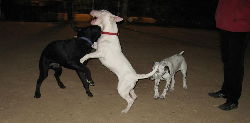 Boss, Bull terrier, Kun_001