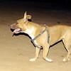 Yuma (pitbull pup girl)_002