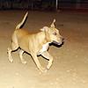 Lola (pitbull pup girl)_002