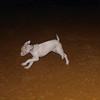 Narco (new pitbull puppy boy)_005