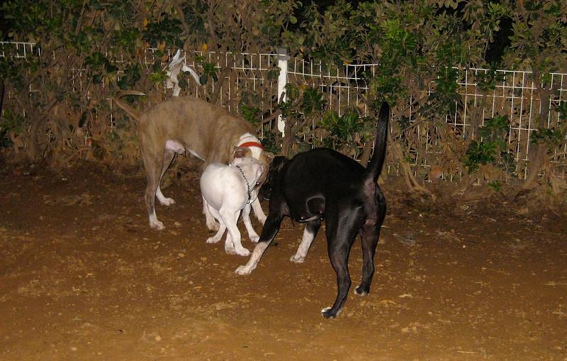 Narco (new pitbull puppy boy)_001