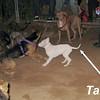 Narco (new pitbull puppy boy)_007