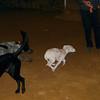 Narco (new pitbull puppy boy)_006