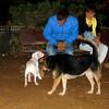 Narco (new pitbull puppy boy)_003
