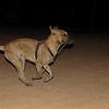 Angus (boy pup)_001