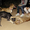 tyson, sade, pitbull, puppy, ayora