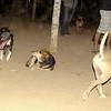Maddie, sade, puppy, pitbull, ayora, mommy, tyson