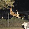 Catha, leap, jump