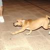 lola, puppy, pitbull, ayora