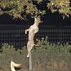 tyson, jump, ballet, pitbull, ayora