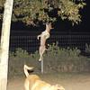 Tyson, pitbull, jump, ballet, ayora