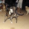 Sade, Naia, pitbull, puppy, ayora, sisters
