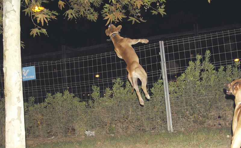 tyson, jump, pitbull, ayora, leap
