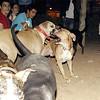 Tyson, Mimi, oct11, queen, pitbull, play, fight, friend, ayora