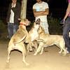Tyson, Mimi, Bruce, Catha, oct11, queen, pitbull, play, fight, friend, ayora