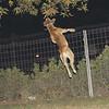 Tyson, oct11, jump, leap, ballet, pitbull, ayora, friend