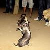 Sade, Naya, Bruce, Catha, oct11, naia, sister, fight, play, fangs, ayora, friend, pitbull