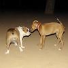 Joya (puppy), Dama (bulldog girl)_002