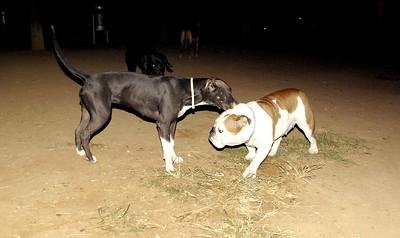 Dana (new bulldog girl), Sade_001