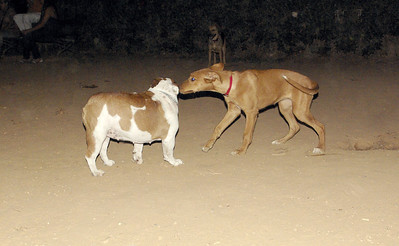 Joya (puppy), Dama (bulldog girl)_001
