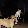 Hade (pup pitbull girl)_002