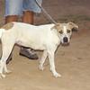 Hade (pup pitbull girl)_001