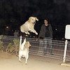 """Bruce (prince, nicknamed """"The White Lion"""" grew up in the park, raised by ALL the royalty: Mimi, Maddie, Chete, Sombra, here about one year old) mark (""""owner""""), ayora, gate, leap"""