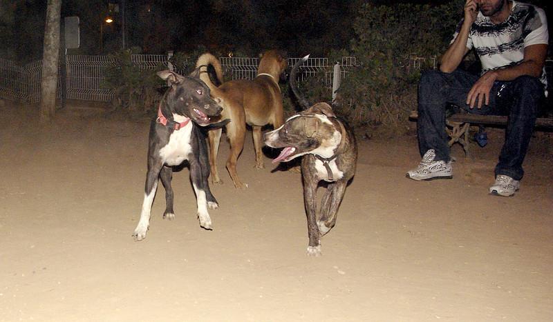 Sade, pitbull, puppy, ayora, naia, sisters
