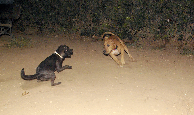 Lola - pitbull puppy ayora, maybe: Mora