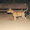 Lola, pitbull, puppy, ayora, mora