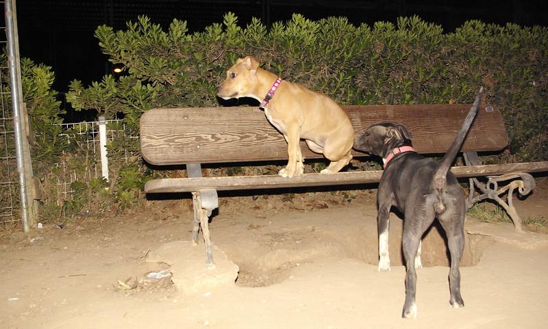 Lola, pitbull, puppy, ayora, sade