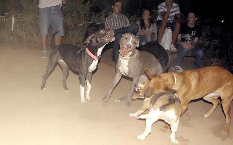 Sade, pitbull, puppy, ayora, Naya, naia