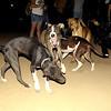 Naia, sade, pitbull, puppy, ayora, sisters