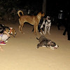 naia, pitbull, ayora, puppy, children