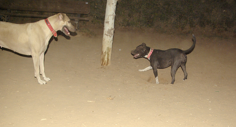 sade, pitbull, puppy, ayora, mimi, queen