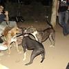 Tyson, Sade, pitbull, puppy, ayora , naia, sisters