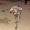 Lola (weimeraner puppy girl)_002