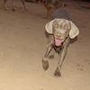 Lola (weimeraner puppy girl)_001