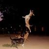 Tyson; jump; sade; catha; ayora; friend; portrait; pitbull